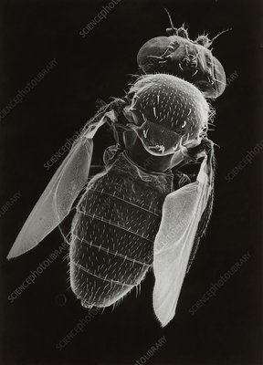 SEM of the fruit fly, Drosophila melanogaster