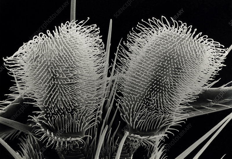SEM of foot of a housefly