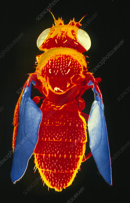 False-col SEM of fruit fly
