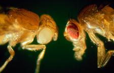 Macrophoto of normal & mutant fruit fly