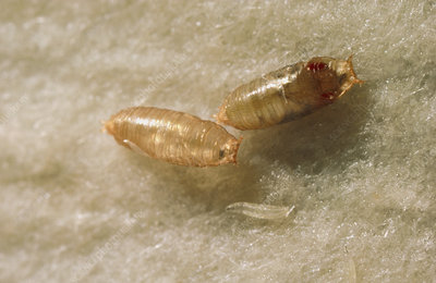 Mutant and normal fruit fly pupae