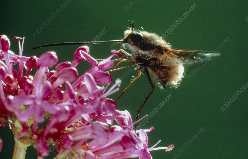 Bee fly , Bombylius , drinking nectar