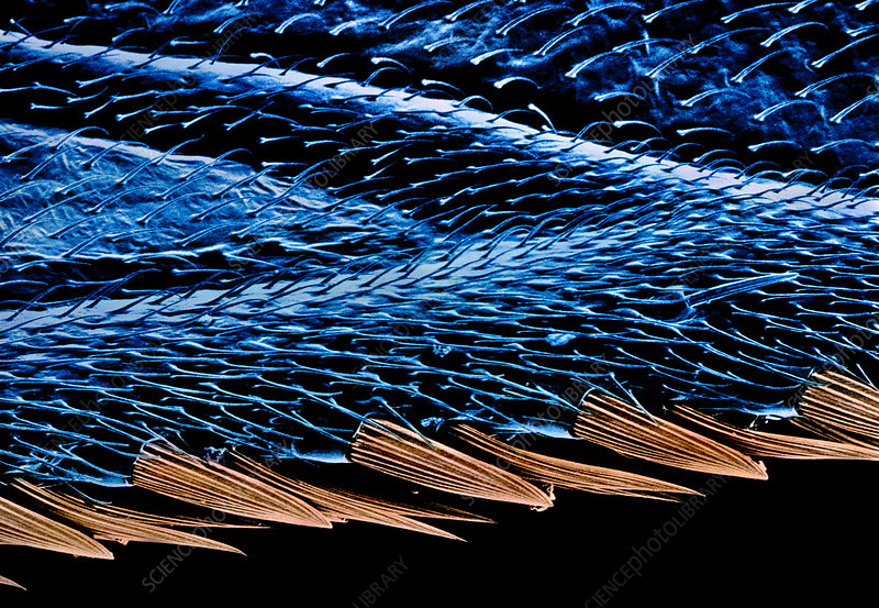 False-colour SEM of the edge of a fly's wing