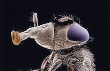 Head of a housefly