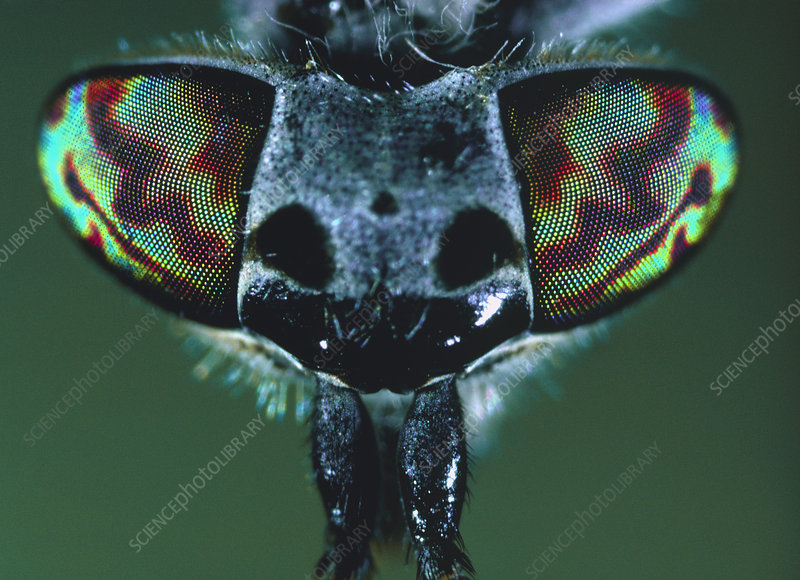 Macrophotograph of the head of a horsefly
