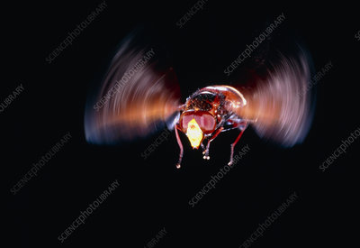 Hover Fly, Syrphus sp., in flight