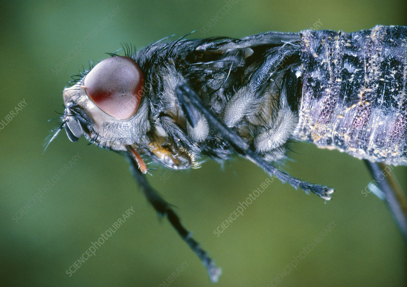 Blowfly, Calliphora sp., emerging from a pupa