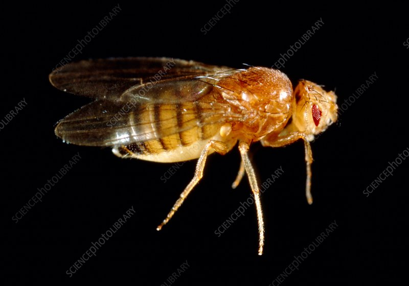 Mutant fruit fly, Drosophila, with bar eyes