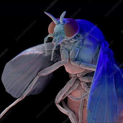 Coloured SEM of a Black Fly, Simulium sp.