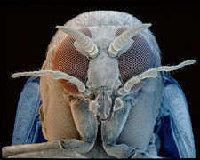 SEM of head of a Black Fly Simulium sp.