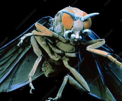 Coloured SEM of a Black fly (buffalo gnat) flying
