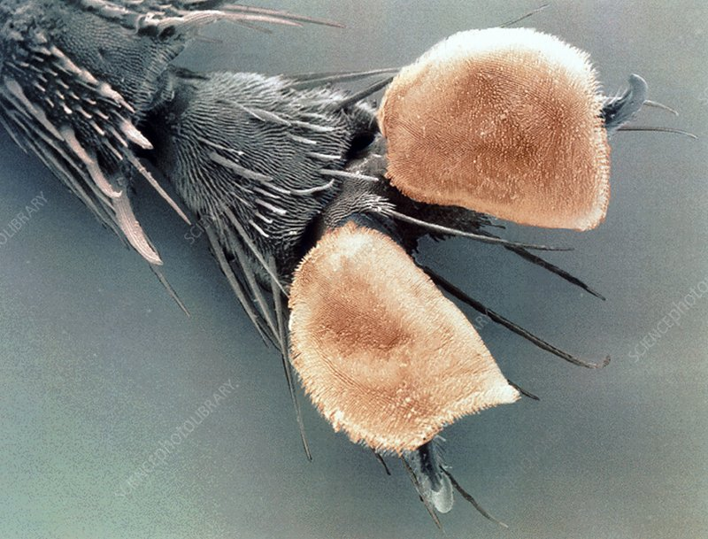 Ventral foot pads and claws of a grey flesh fly