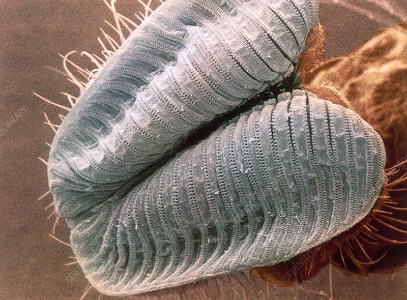 Coloured SEM of a blowfly's proboscis
