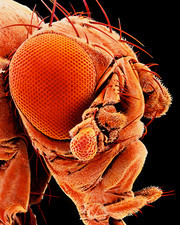 Coloured SEM of a mutant fruit fly Drosophila sp
