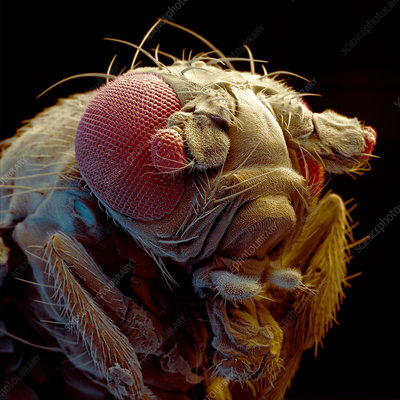 Coloured SEM of mutant fruit fly