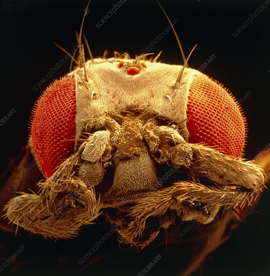 Coloured SEM of fruit fly mutant, Drosophila