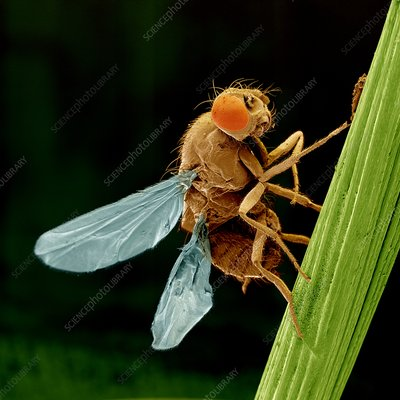 Coloured SEM of fruit fly four wing mutant