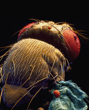 Coloured SEM of mutant fruit fly with ectopic eyes