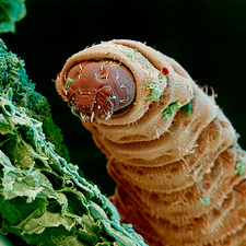 Colour SEM of dipteran fly maggot in compost heap