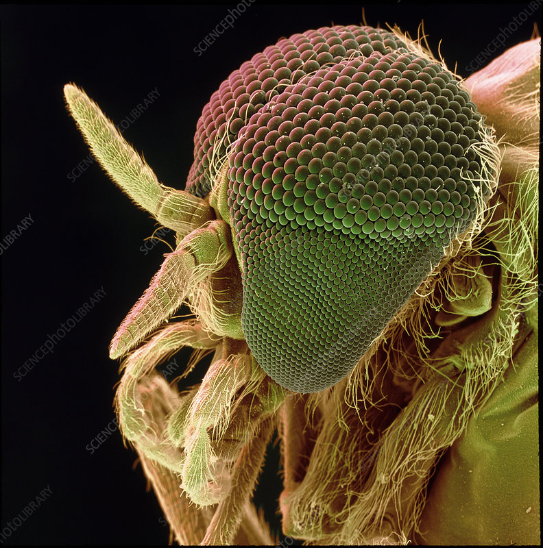 Head of a black fly