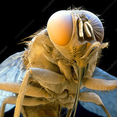 Coloured SEM of a tsetse fly