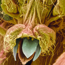Coloured SEM of Black fly, Simulium, mouthparts