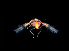 Hover fly, Volucella sp., in flight