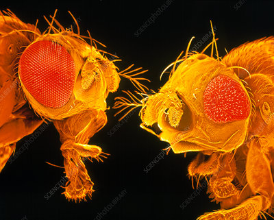 SEM of heads of normal & mutant fruit fly