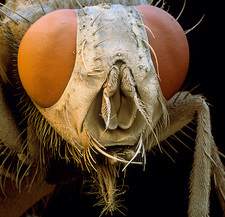 Coloured SEM of head of housefly (Musca domestica)