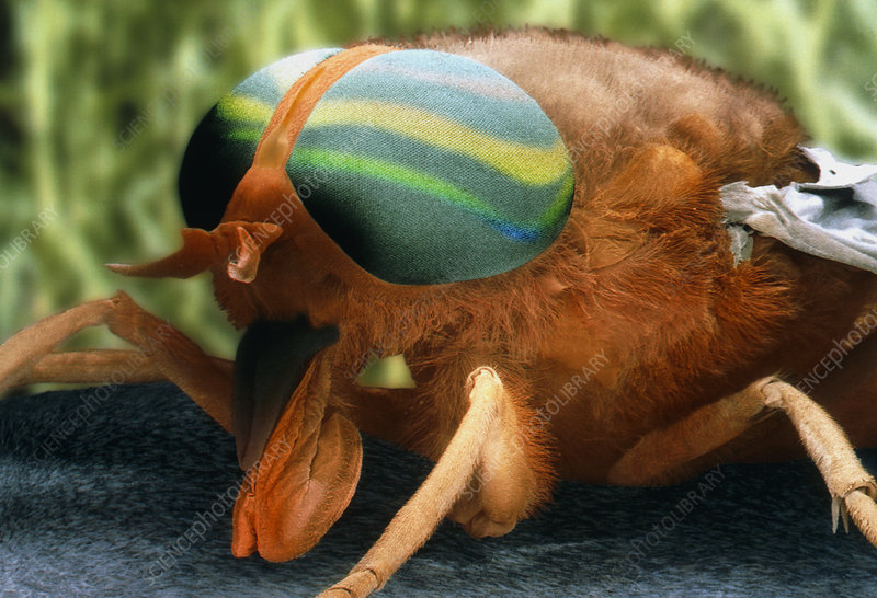 Coloured SEM of a horsefly (Tabanus bromius)