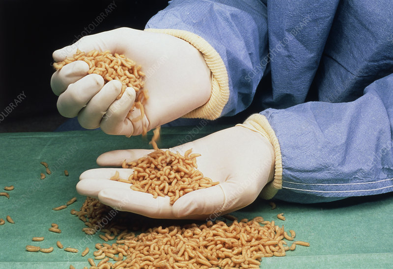 Medical maggots in a doctor's gloved hands