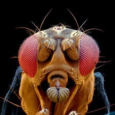 Drosophila fly head SEM