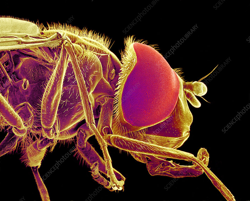 Hover fly, SEM