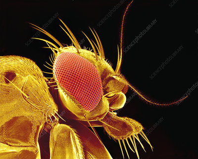 Drosophila fly, SEM