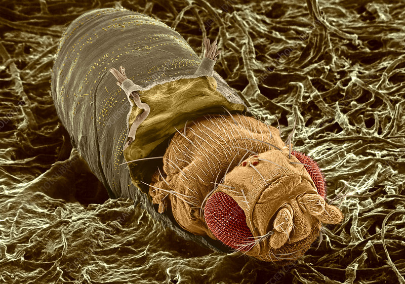 Adult fruit fly hatching, SEM