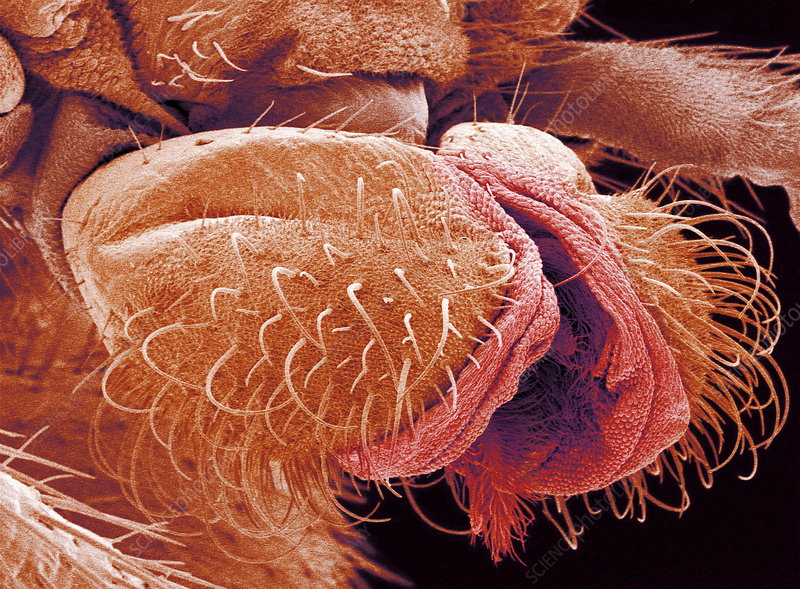 Fly mouthparts, SEM