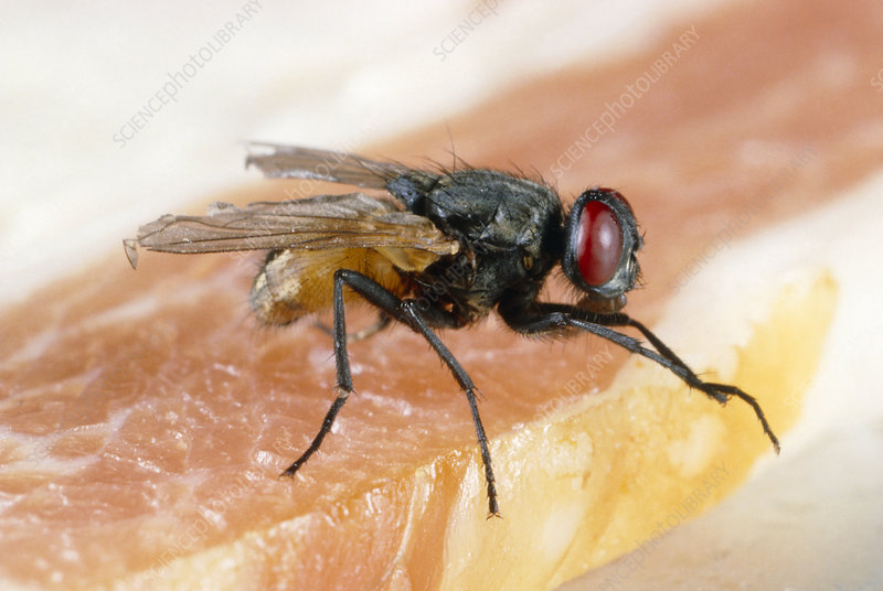 House fly on raw meat
