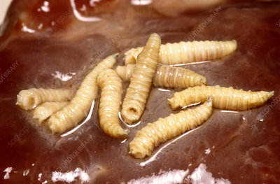 Blow Fly larvae