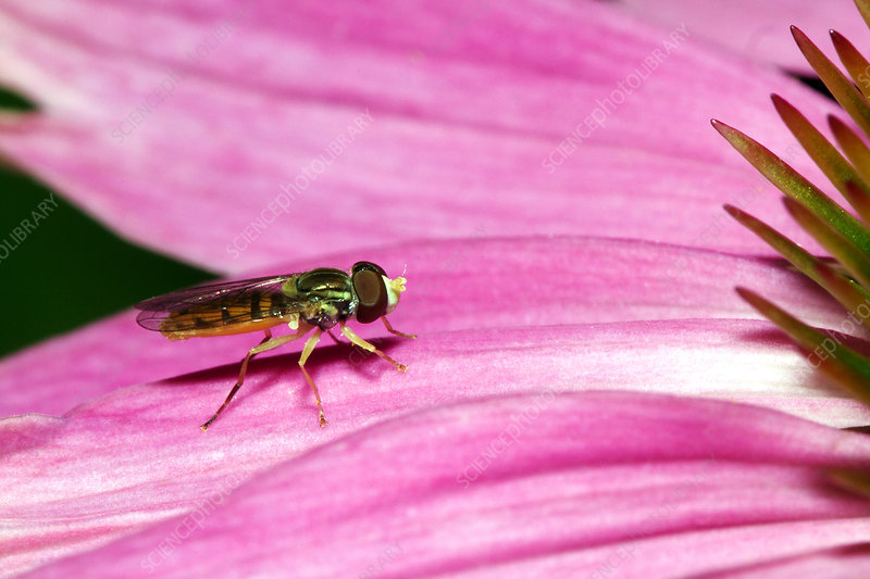 Toxomerus Hover Fly or Flower Fly