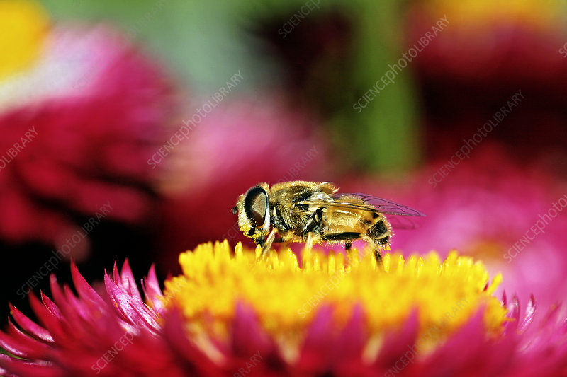 Bee fly on a strawflower