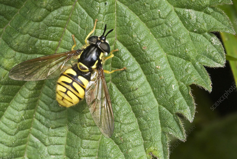 Hover fly (Chrysotoxum cautum)
