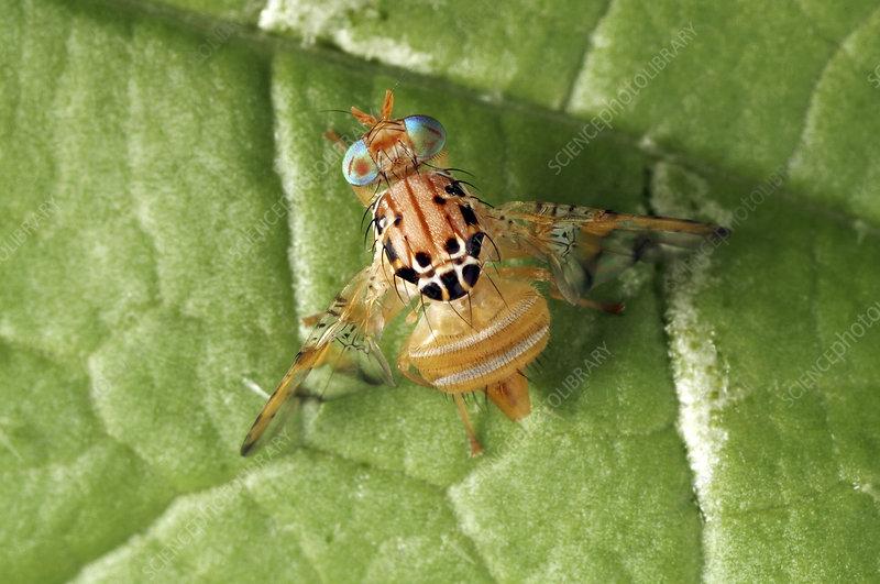 Mango fruit fly