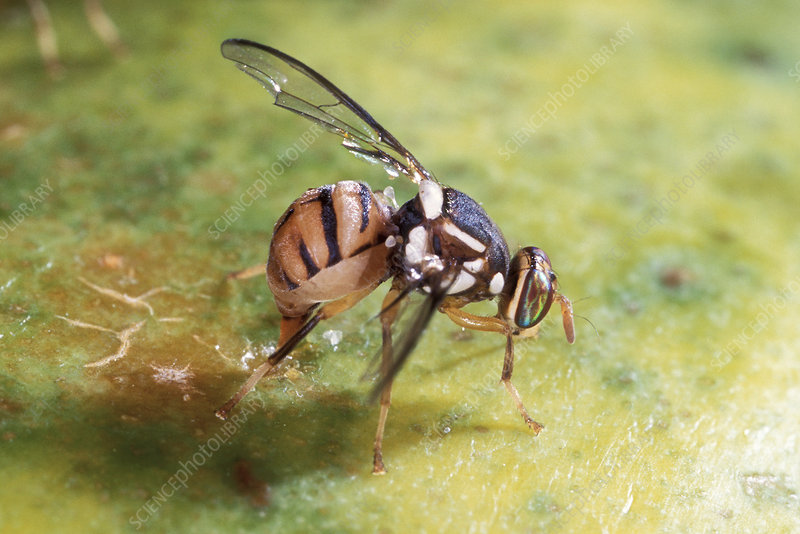 Oriental fruit fly laying its eggs