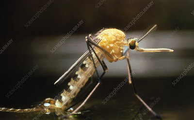 Macro-photo of a newly emerged female mosquito