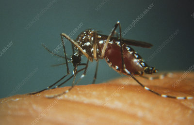 Yellow fever mosquito biting
