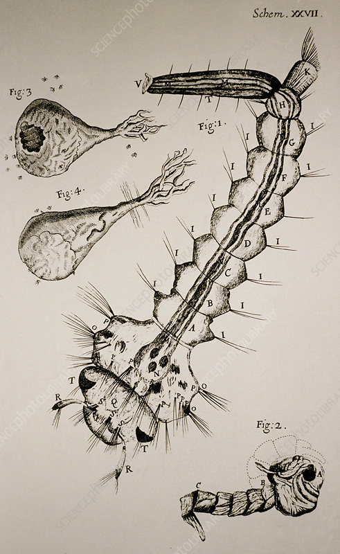 Hooke's drawing of a water insect or gnat