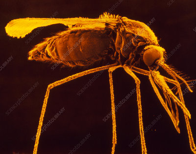 SEM of female malaria mosquito