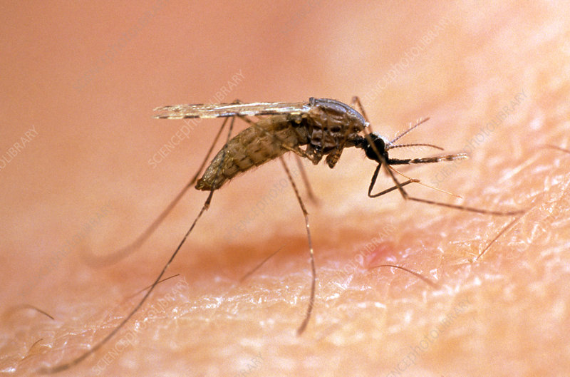 Mosquito on human skin, ready to bite
