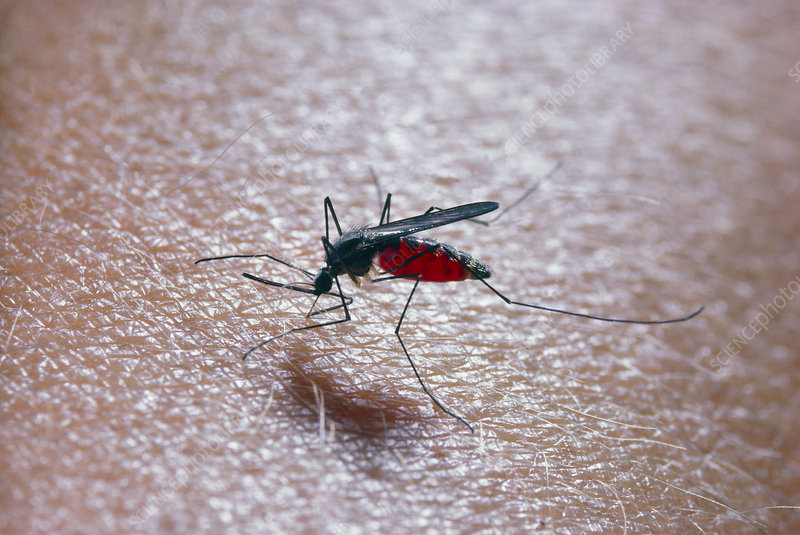 Mosquito, Culex pipiens, feeding on human blood