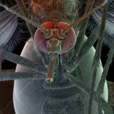 Colour SEM of head of the mosquito, Aedes aegypti
